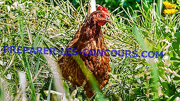 No, las gallinas no son vegetarianas.